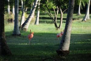Colonias de flamencos y otras aves viven en las Playas de Cayo Guillermo
